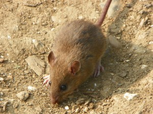 Image of a mouse standing in dirt