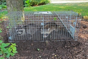 Image of caged raccoons