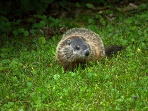 Woodchuck, pest, and wildlife removal