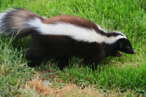 Skunk, pest, and wildlife removal