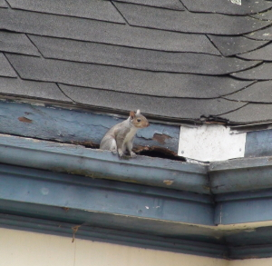image of a squirrel in a gutter