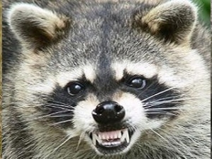 Snarling Raccoon Image